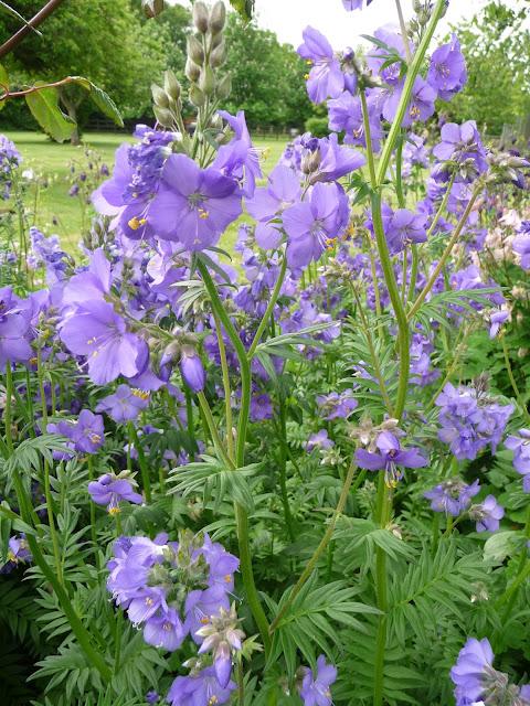 Growing herbaceous perennial Polemonium Caeruleum-Jacobs Ladder-Blue