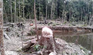 Taladores ilegales operan impunemente dentro de Reserva Tambopata