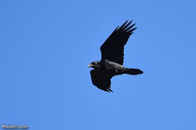 Corb (Corvus corax)