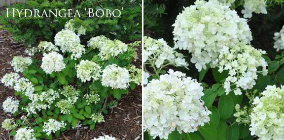Three dogs in a garden hydrangeas care basics old new varieties bobo forms a low rounded mound of green foliage and has white flowers that turn pink in the fall bobo adapts to a variety of soil conditions and requires mightylinksfo