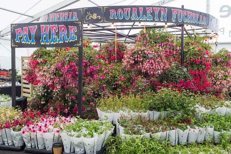 Fuchsias. Devonshire  Floral Marquee. Chatsworth Flower Show 2017