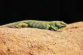 10 Interesting Fact of Lizard In Hindi छिपकली से समन्धित 10 रोचक बाते हिन्दी में
