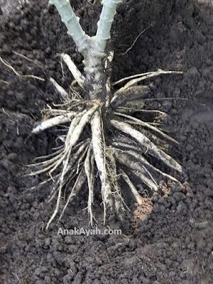 Tehnik baru menanam singkong agar berumbi banyak dan menghasilkan panen yang melimpah 5x lipat.