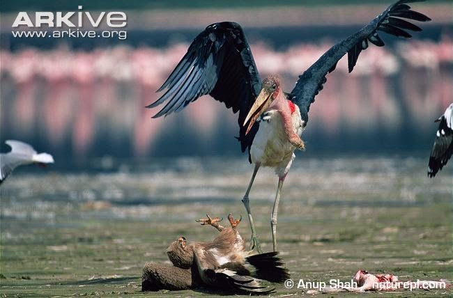 interactions between african raptors tawny eagle
