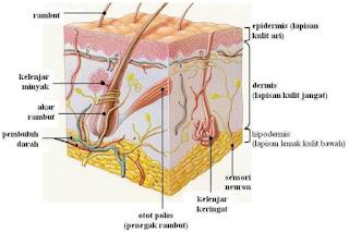 anatomy rambut