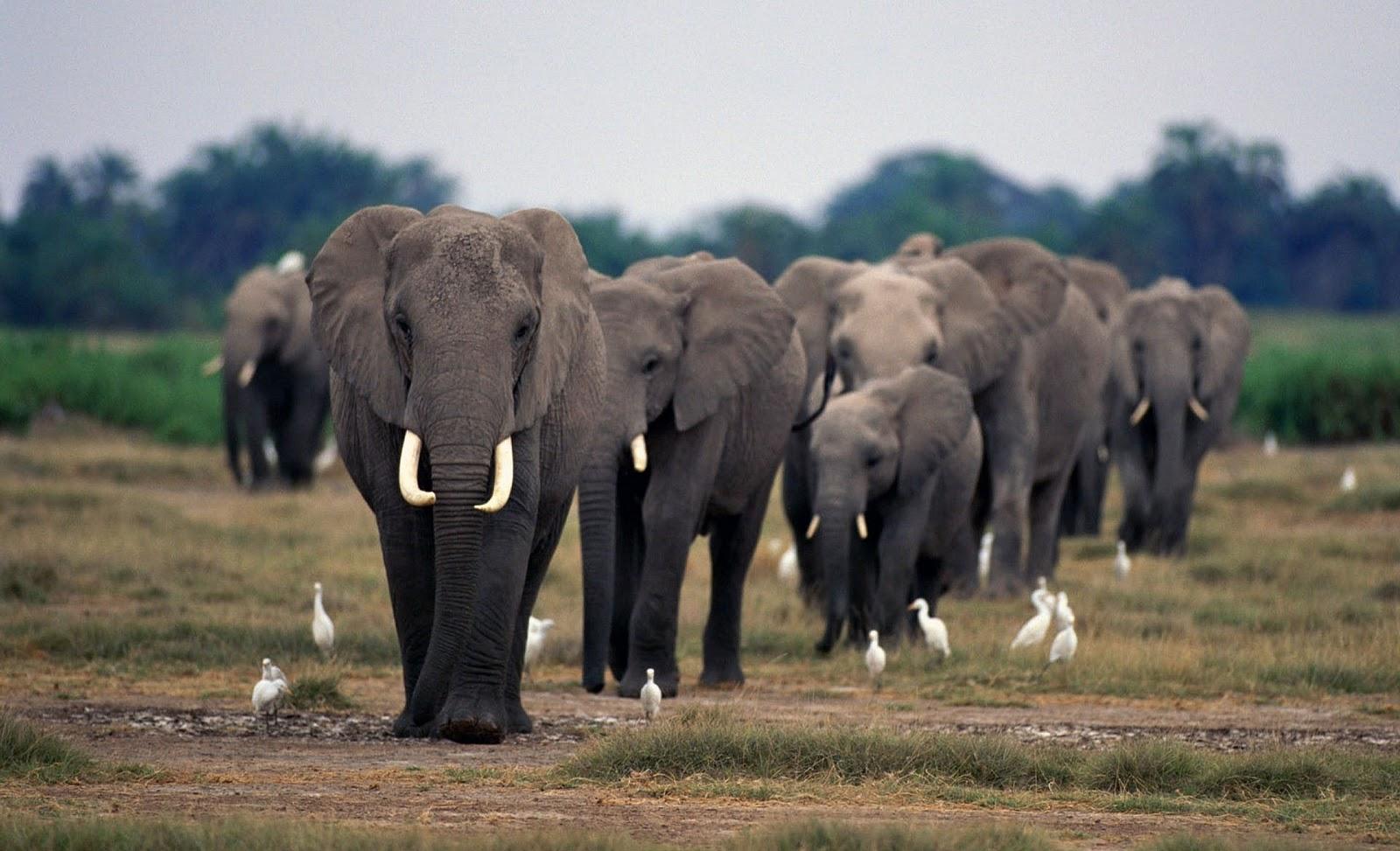 olifanten achtergronden bureaublad - photo #10