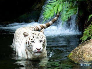 Tigre Blanco en el agua