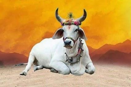 gao mata: Inde: la chasse à la vache sacrée