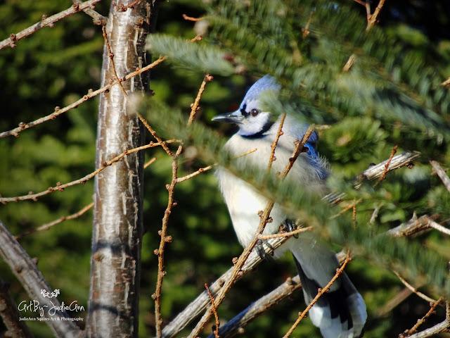 Blue Jay in tree