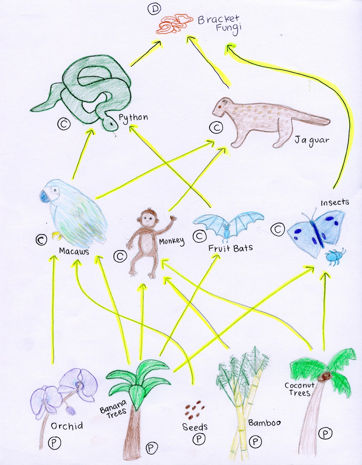 Tropical Rainforests Key Stone Species And Food Web In