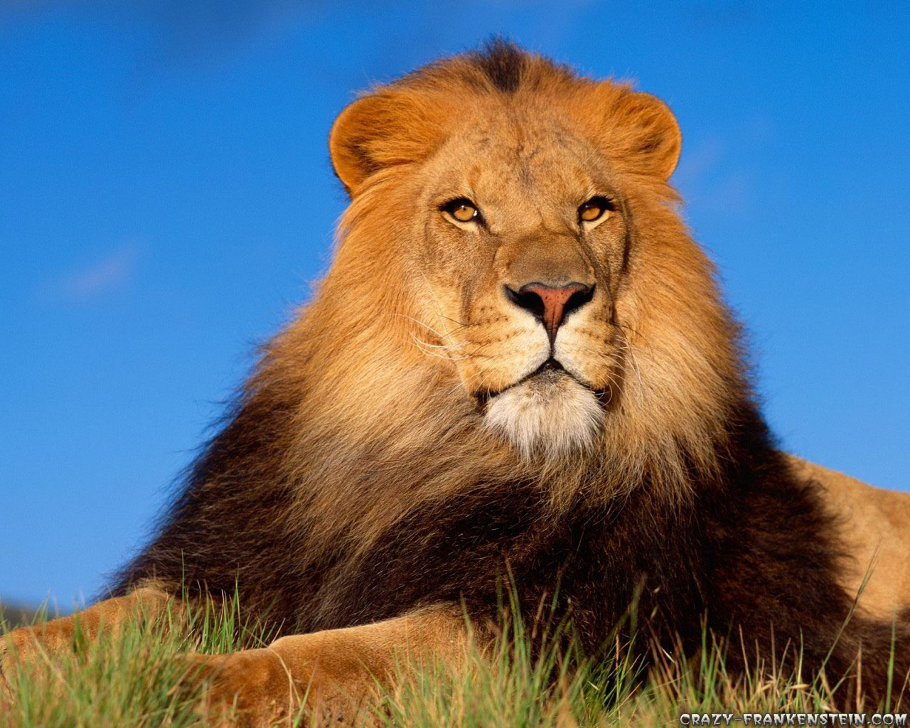 Male Lion Wallpapers | Fun Animals Wiki, Videos, Pictures ...