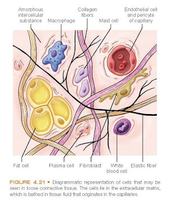 Diagrammatic representation of cells that may be seen in loose connective tissue. The cells lie in the extracellular matrix, which is bathed in tissue fluid that originates in the capillaries.