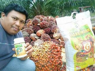cara agar buah sawit besar