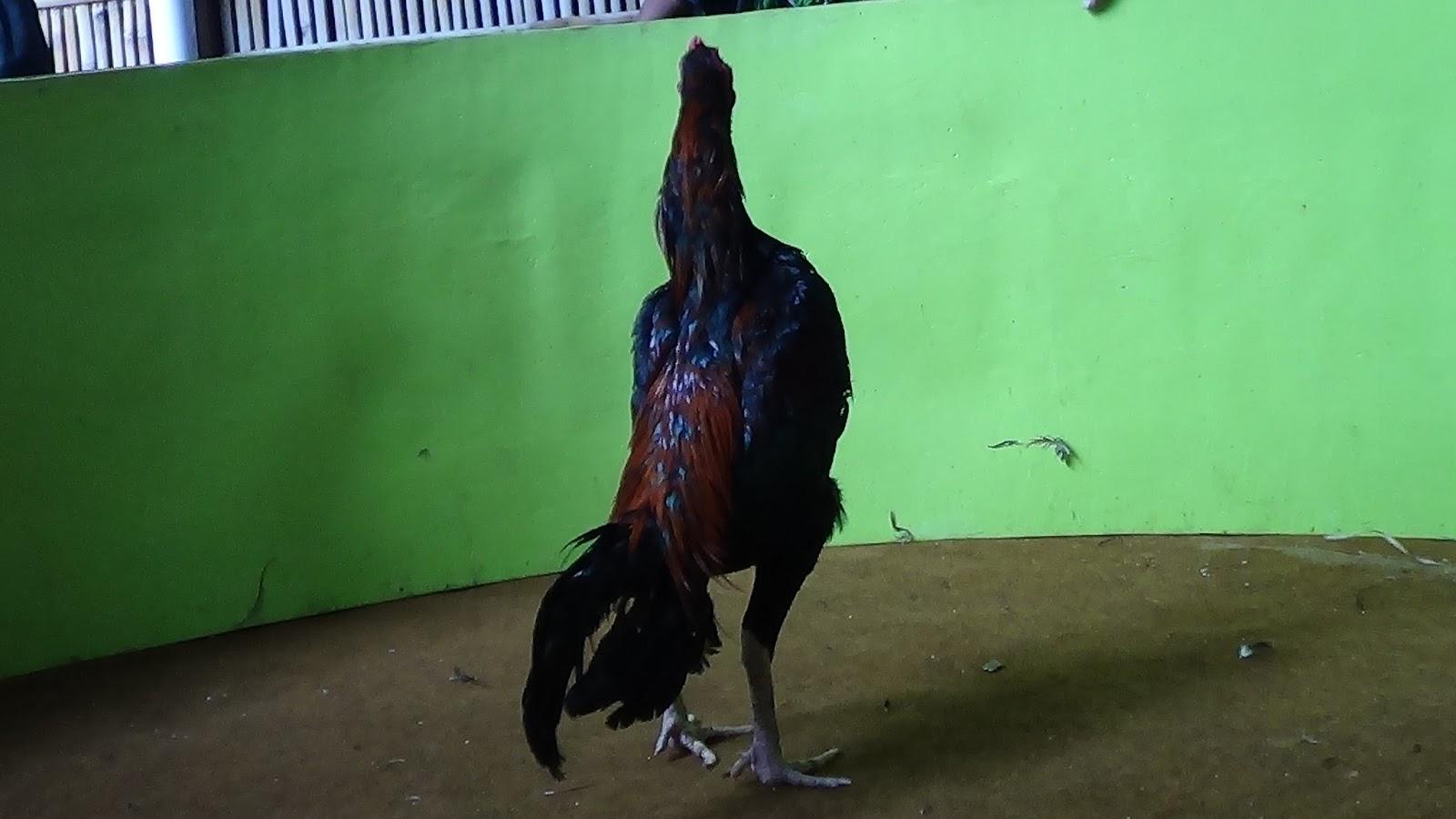 Trondol V Pukulan Jilink Sper Bervdio Ayam Petarung
