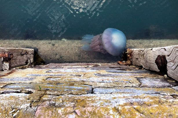 Beast jellyfish which can develop to the size of dustbin covers attack harbor