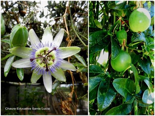 Flor y frutos del mburucuyá - Chacra Educativa Santa Lucía