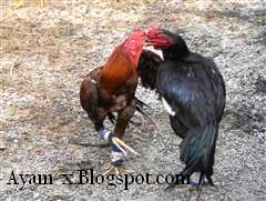 Sabung ayam atau Gamecock di Thailand