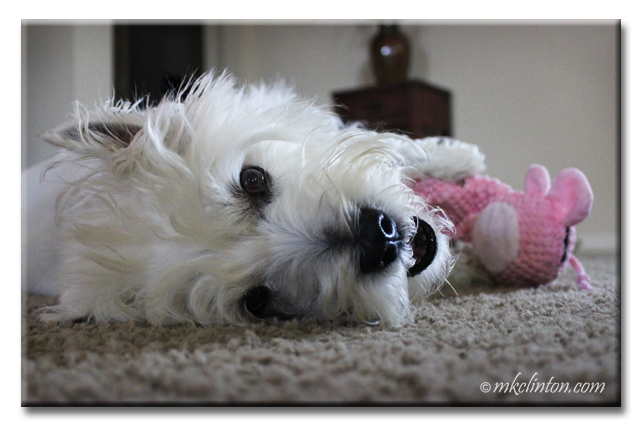 Westie laying down with pink toy