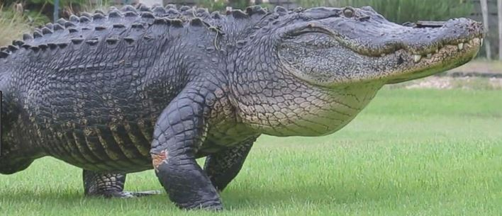 """Ripples the Alligator"" in Lake Osborne west of Lake Worth, pet or pest?"