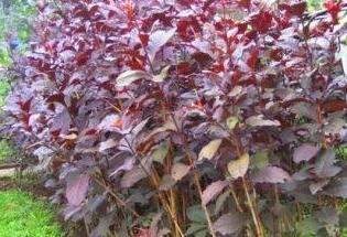 Daun wungu ( graptophyllum pictum ) untuk kesehatan