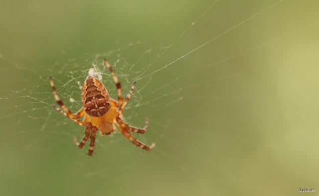 Araignée épeire