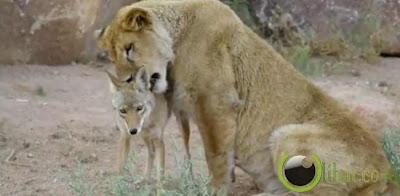 Pasangan Anjing Hutan Dan Singa