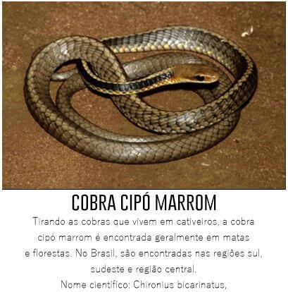 Cobra-Cipo-Marrom