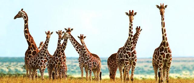 Jirafas y sabana africana