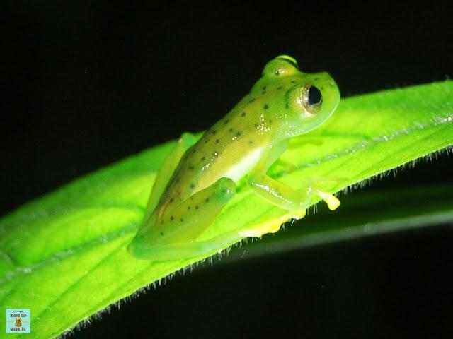 Ranas de Costa Rica