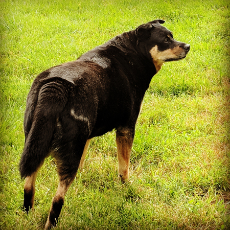 image of Zelda the Black and Tan Mutt standing in the grass, keeping watch