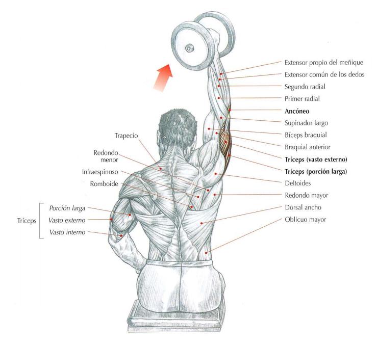 Extensión vertical de los codos con mancuerna - Unilateral