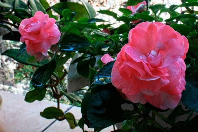 Flores de Alegría del Hogar