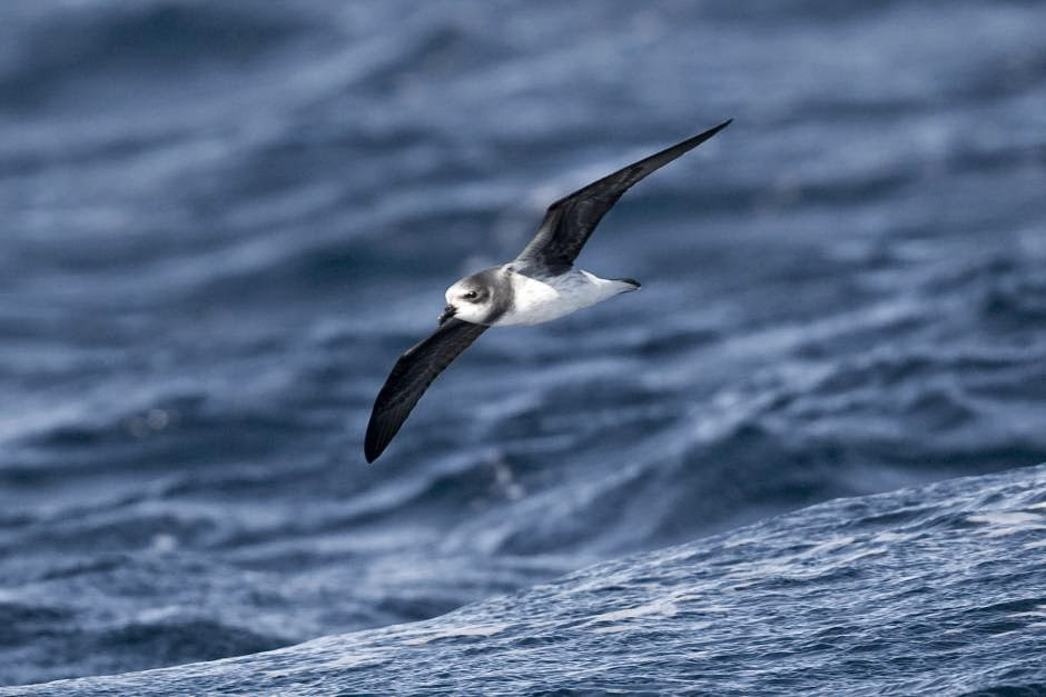 Soft plumaged Petrel