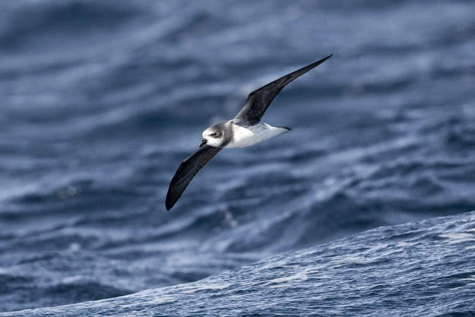 Soft plumaged Petrel