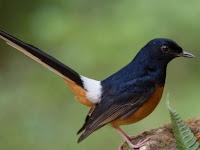 Jenis Jenis Burung Murai yang Beragam dan Unik