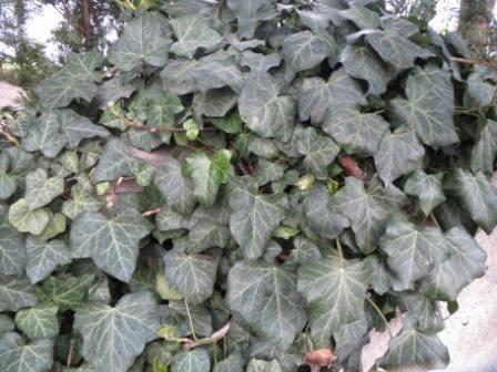 giftige Pflanzen-Efeu