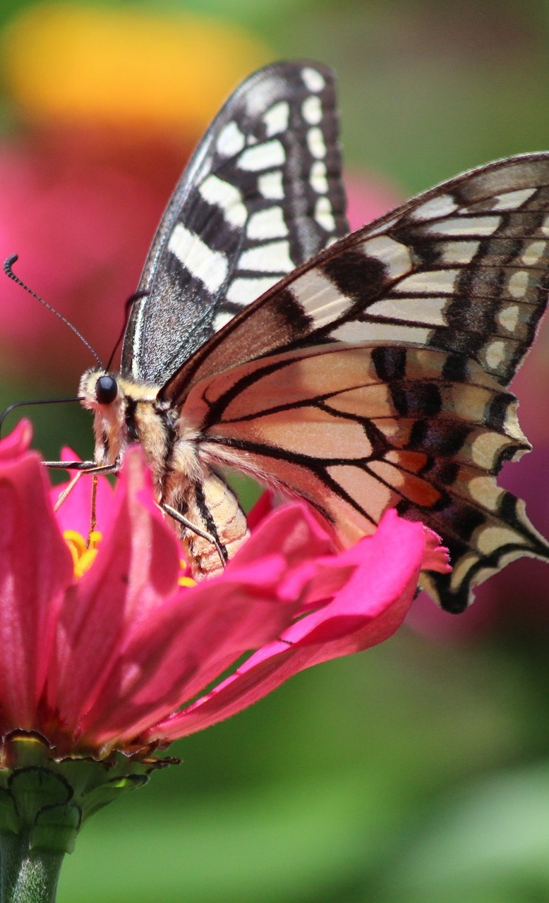 A swallowtail butterfly up close.