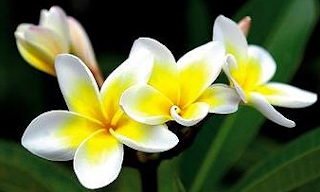 Bunga Nasional Laos