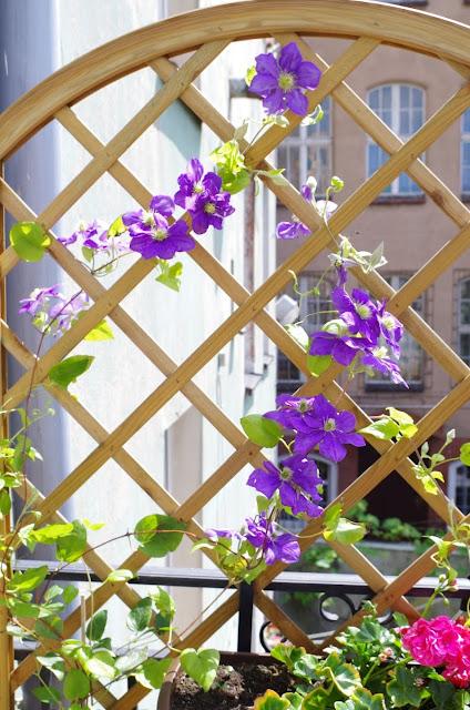 clematis, rośliny na balkonie