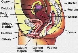 Alat Reproduksi Wanita