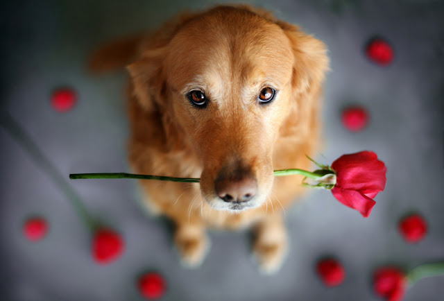 Green Pear Diaries, fotografía, mascotas, Jessica Trinh, Chuppy, Golden Retriever