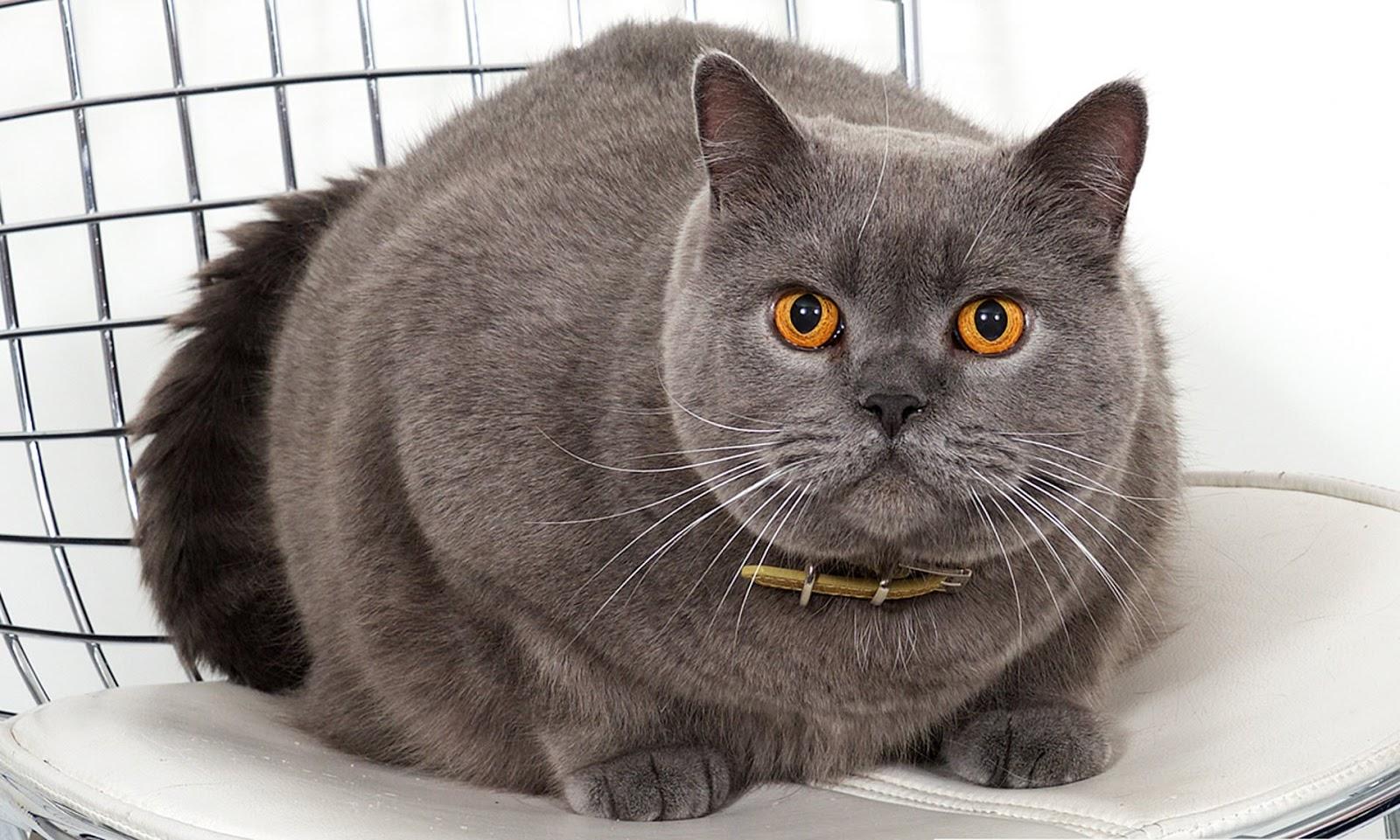 Jual Anak Kucing British Shorthair - 81021+ Nama Untuk ...