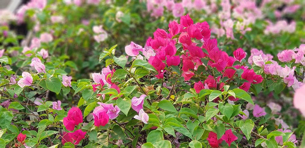 ดอกหลากสีต้นเฟื่องฟ้า