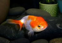 Jenis Ikan Koki Lionhead ikan hias cantik