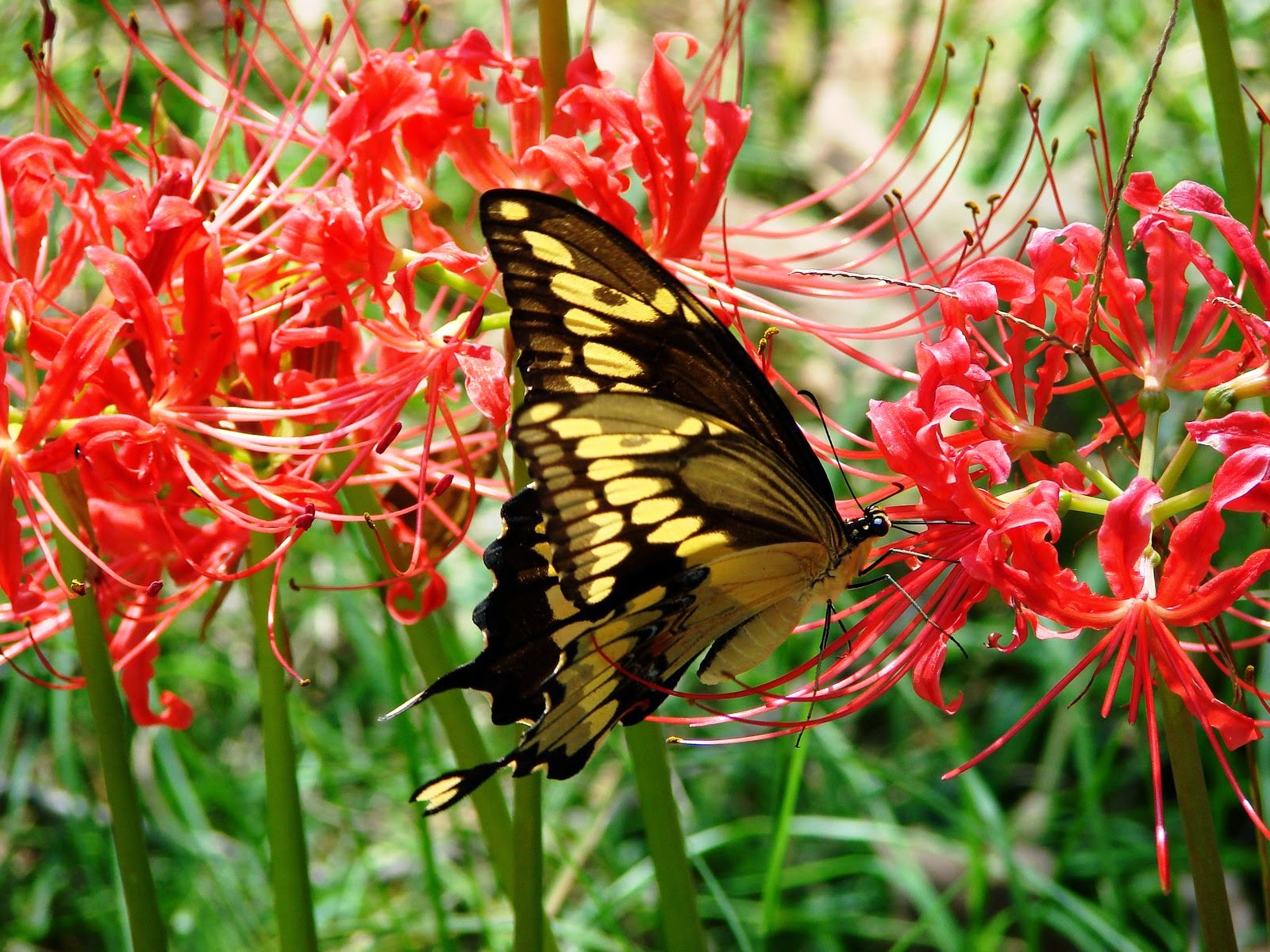 HOW TO GROW SPIDER LILIES