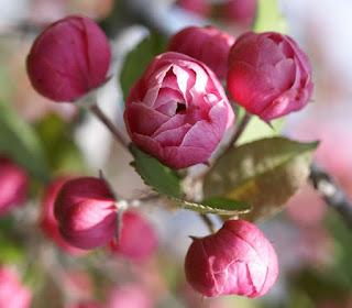 Pommetier – Pommier à fleurs - Pommier décoratif