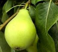 Foto de una pera con hoja - Fruta