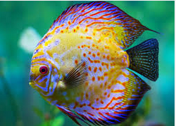 Mengenali Penyakit Discus ikan hias aquarium