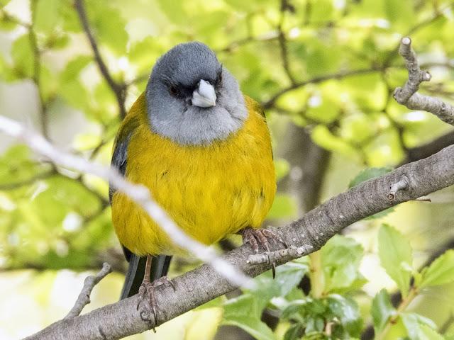 Patagonia Sierra Finch bird near El Calafate Argentina