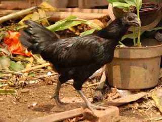5 Situs jual beli Ayam cemani Terpercaya Di indonesia